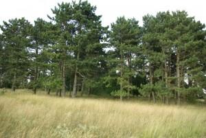 Côte de Lorry, pins des années 1930