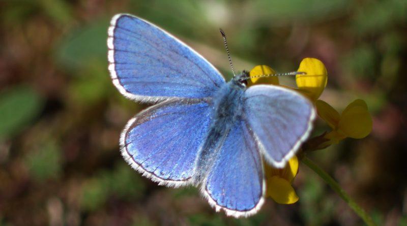 Argus bleu céleste ou Bel-Argus